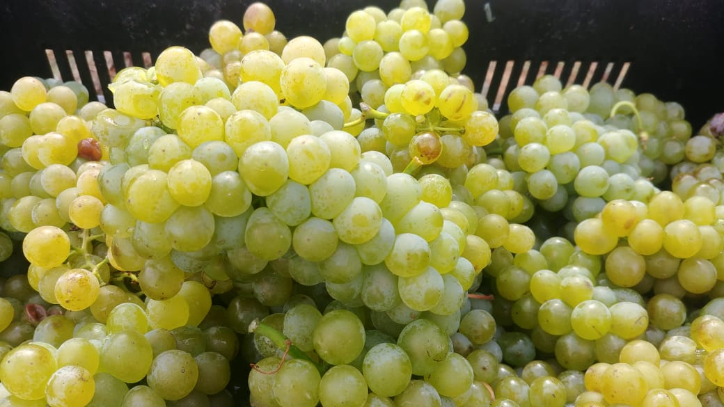 When is a vineyard ready for harvest?